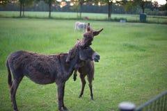 Pequeño burro Foto de archivo