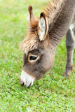 Pequeño burro Imagen de archivo