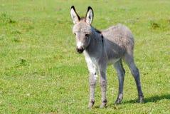 Pequeño burro gris Imágenes de archivo libres de regalías