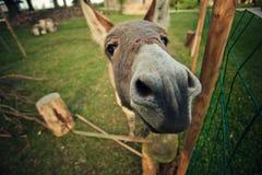 Pequeño burro gris Foto de archivo