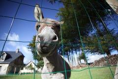 Pequeño burro gris Fotos de archivo libres de regalías