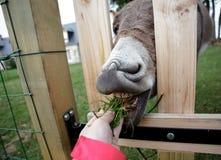 Pequeño burro gris Foto de archivo libre de regalías