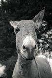 Pequeño burro gris Imagenes de archivo