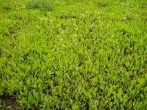 Pequeño césped verde llenado de la hierba joven imagen de archivo