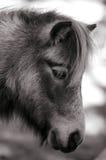 Pequeño caballo Fotografía de archivo
