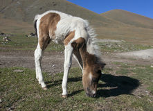 Pequeño caballo Foto de archivo