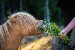 Pequeño caballo de Shetland que come el trébol de una mano Imágenes de archivo libres de regalías