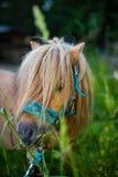 Pequeño caballo de Shetland que come el trébol en un campo Fotografía de archivo libre de regalías