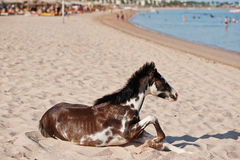 Pequeño caballo en la playa que juega en la arena Foto de archivo