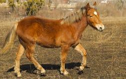 Pequeño caballo rojo que corre en el campo Fotografía de archivo