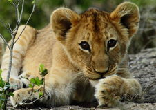 Pequeño cachorro de león imagen de archivo libre de regalías