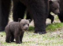 Pequeño cachorro de oso Imagenes de archivo