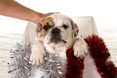 Pequeño cachorro del dogo francés en caja de la Navidad como Papá Noel presente en concepto de Navidad del regalo del perro fotos de archivo