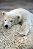 Pequeño cachorro del oso polar que tiene un resto Imágenes de archivo libres de regalías