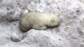 Pequeño cachorro triste del oso polar almacen de metraje de vídeo