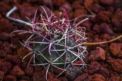 Pequeño cactus de barril Imágenes de archivo libres de regalías