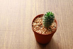 Pequeño cactus del primer en la textura de madera Fotografía de archivo
