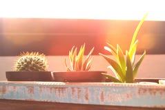 Pequeño cactus en la caja de madera Imagen de archivo libre de regalías