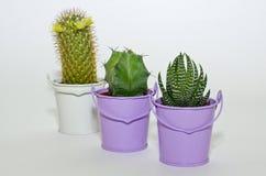 Pequeño cactus tres producido en potes Foto de archivo