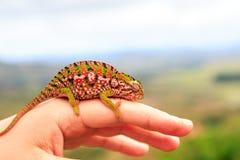 Pequeño camaleón colorido que afianza con abrazadera en un finger de una mano Imagen de archivo