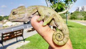 Pequeño camaleón lindo que se sienta en una mano Foto de archivo libre de regalías