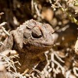 Pequeño camaleón que se sienta en un arbusto Imágenes de archivo libres de regalías