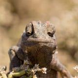 Pequeño camaleón que se sienta en un arbusto Foto de archivo libre de regalías
