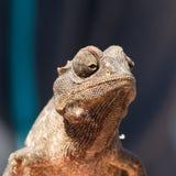 Pequeño camaleón que se sienta en un arbusto Fotografía de archivo libre de regalías