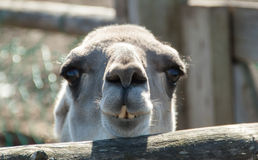 Pequeño camello Imágenes de archivo libres de regalías