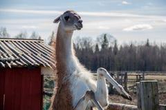Pequeño camello Fotografía de archivo libre de regalías
