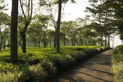 Pequeño camino en el medio de la plantación de té Imagenes de archivo