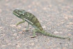 Pequeño camino verde del alquitrán de la cruz del camaleón en un día caliente Imagenes de archivo