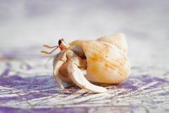 Pequeño cangrejo de ermitaño Imagen de archivo libre de regalías
