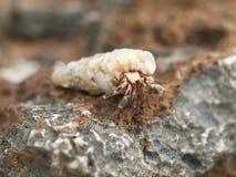 Pequeño cangrejo de ermitaño en cáscara Fotos de archivo