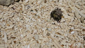 Pequeño cangrejo de ermitaño en la arena