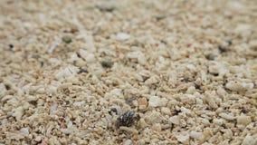 Pequeño cangrejo de ermitaño en la arena almacen de metraje de vídeo