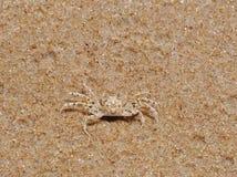 Pequeño cangrejo punteado en la arena del oro Foto de archivo libre de regalías