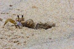 Pequeño cangrejo que limpia su casa Foto de archivo libre de regalías