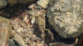 Pequeño cangrejo que oculta entre las piedras y las ondas del mar Fauna marina metrajes