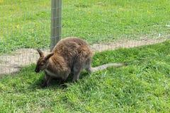 Pequeño canguro en hierba por la cerca de alambre Imagen de archivo libre de regalías