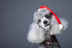Pequeño caniche gris con el casquillo rojo de la Navidad Fotos de archivo