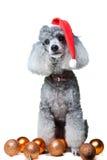 Pequeño caniche gris con la decoración de la Navidad Fotos de archivo