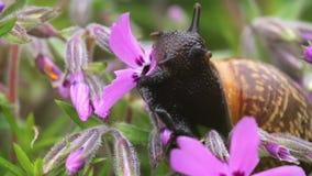 Pequeño caracol de jardín que come la floración entera de la flor del silbido de bala