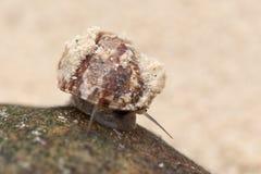 Pequeño caracol de la playa fotografía de archivo libre de regalías