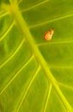Pequeño caracol en fondo verde de la hoja Foto de archivo libre de regalías