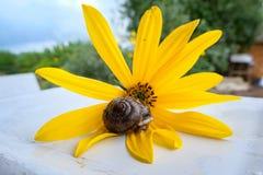 Pequeño caracol que se sienta en una flor Fotos de archivo libres de regalías