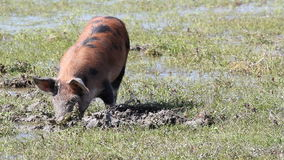Pequeño cerdo