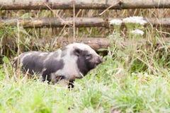 Pequeño cerdo Fotos de archivo libres de regalías