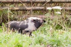 Pequeño cerdo Imagen de archivo libre de regalías