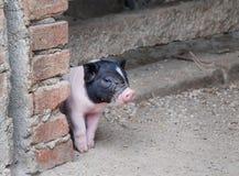 Pequeño cerdo lindo Imágenes de archivo libres de regalías